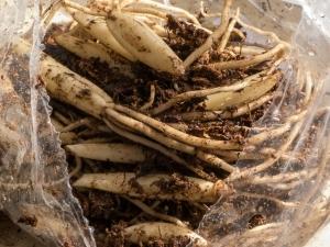 wild garlic slips