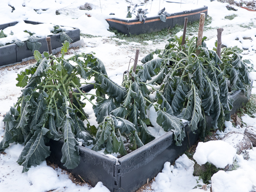 Frozen PSB raised bed