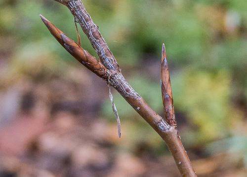 Beech buds