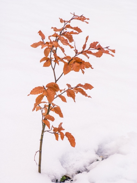Beech and Snow