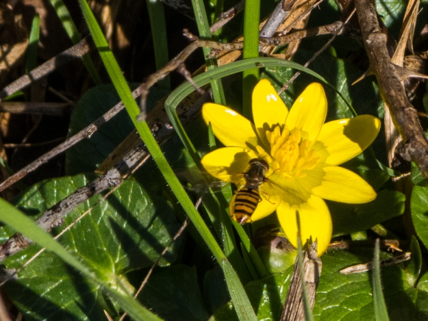 20140223-celandine and bee