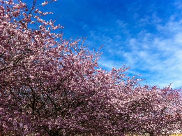 20140318-cherry blossom