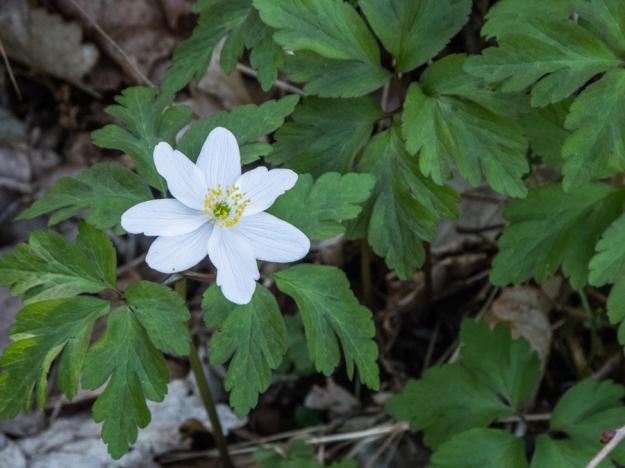 20140413-wood anemone