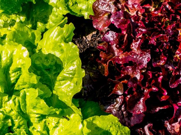 20140629-lettucephotochallenge