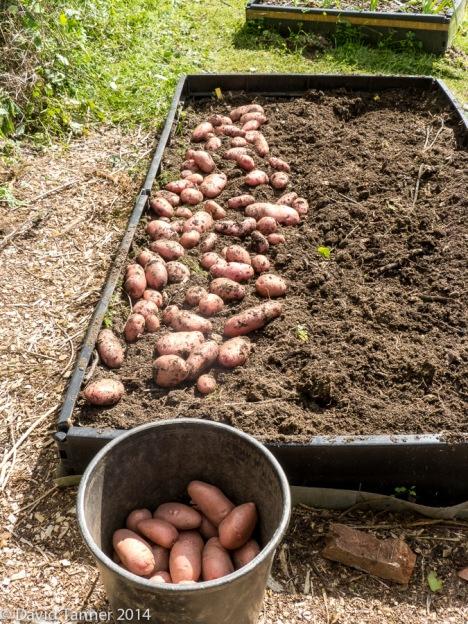 freshly dug desiree potatoes