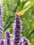 Hyssop and fritillary  butterfly