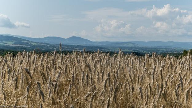 barley field at Vourlhat