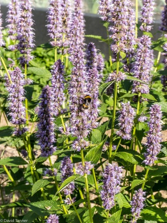 hyssop and bees
