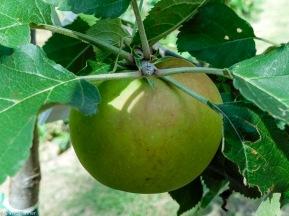 our sole surviving apple