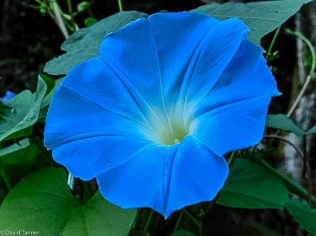 "ipomoea ""heavenly blue"""