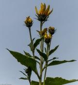 jerusalem artchoke flowers