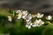 plum cherry blossom